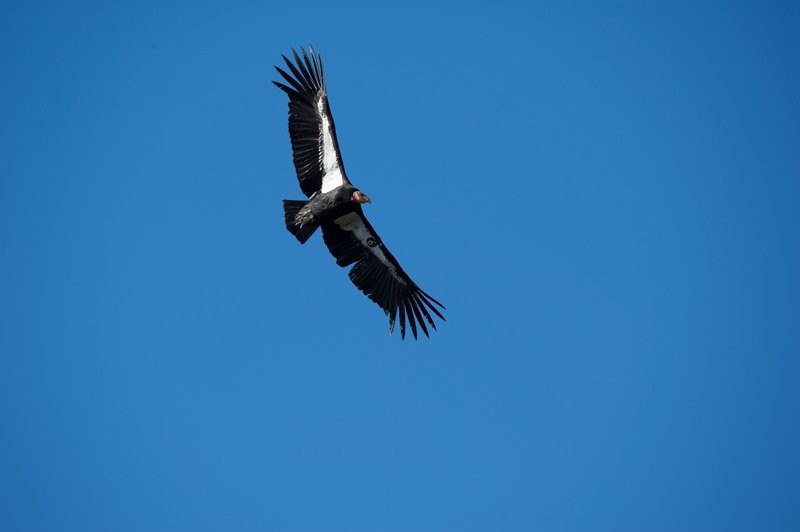 Condor 606 (Black 6) soars above the High Peaks. You can tell it is a condor by the white triangle under the wings instead of the all the feathers being white on the tips.