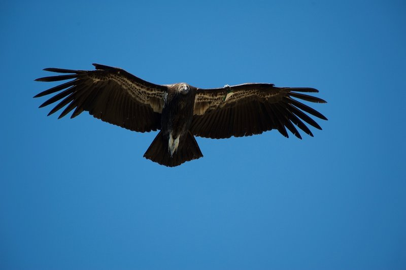 A juvenile california condor, as evidenced by the black head, glides on thermals around the High Peaks.