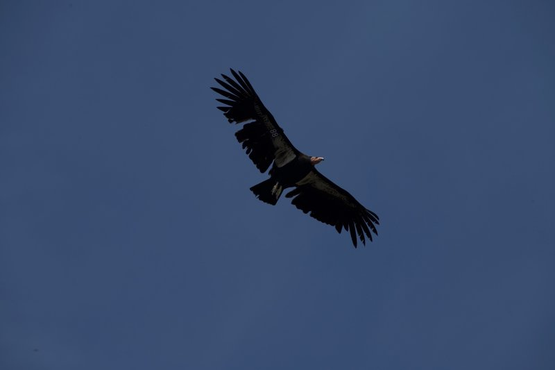 Condor 688 (Black 88).  If you visit the High Peaks, especially in the afternoon, you may get lucky to see one of these endangered animals.