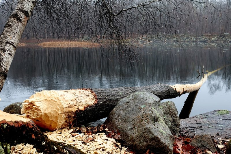 The Jefferson Township, NJ beavers were hard at work over Thanksgiving weekend.