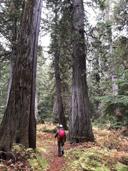 Cedars near Hughes Meadows, Priest Lake area, Idaho