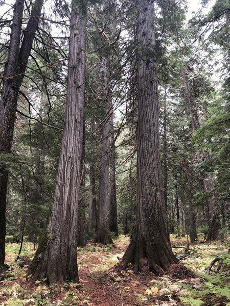 Cedars in the Hughes Meadow area, Priest Lake area, Idaho
