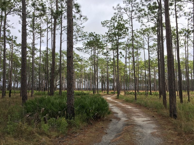 Doubletrack through the pines