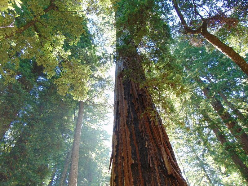 Coastal Redwoods on Meteor Trail