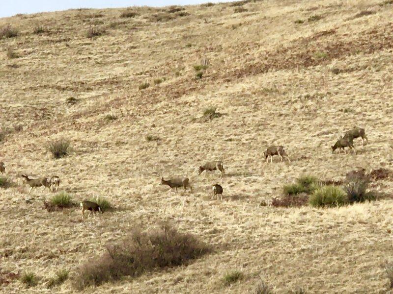 Herd of 20 mule deer