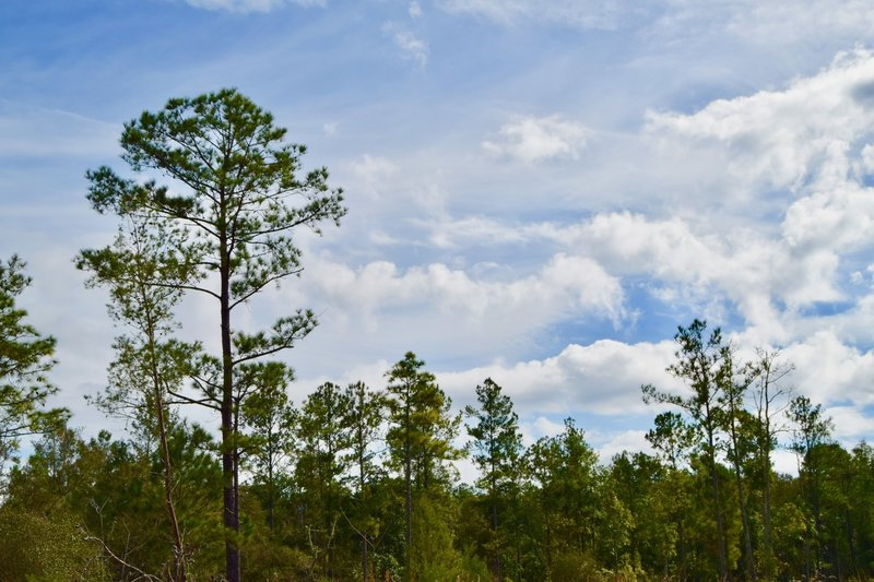 Typical sand pine forest along the trails.