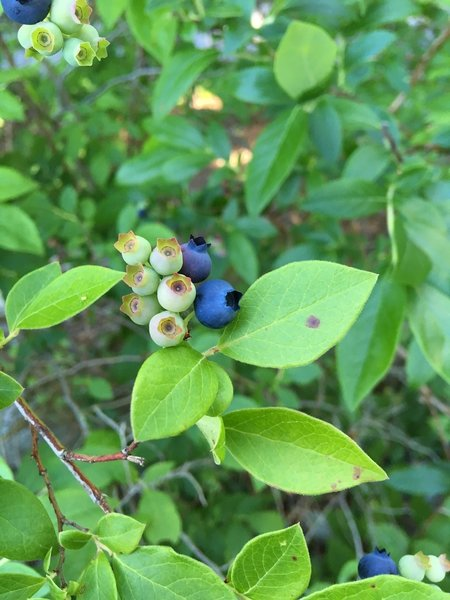 Highbush Blueberries (taken July 7, 2018).