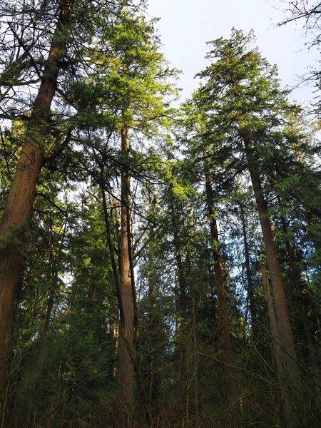 Old growth Douglas-fir