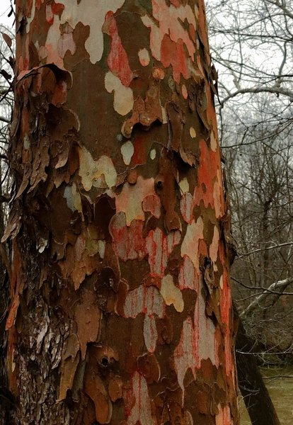 A colorful Sycamore shedding it's skin