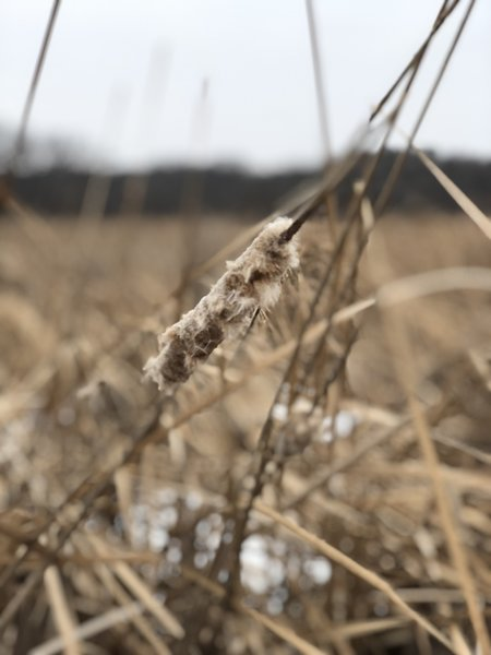 Close up of a cattail on the marsh.