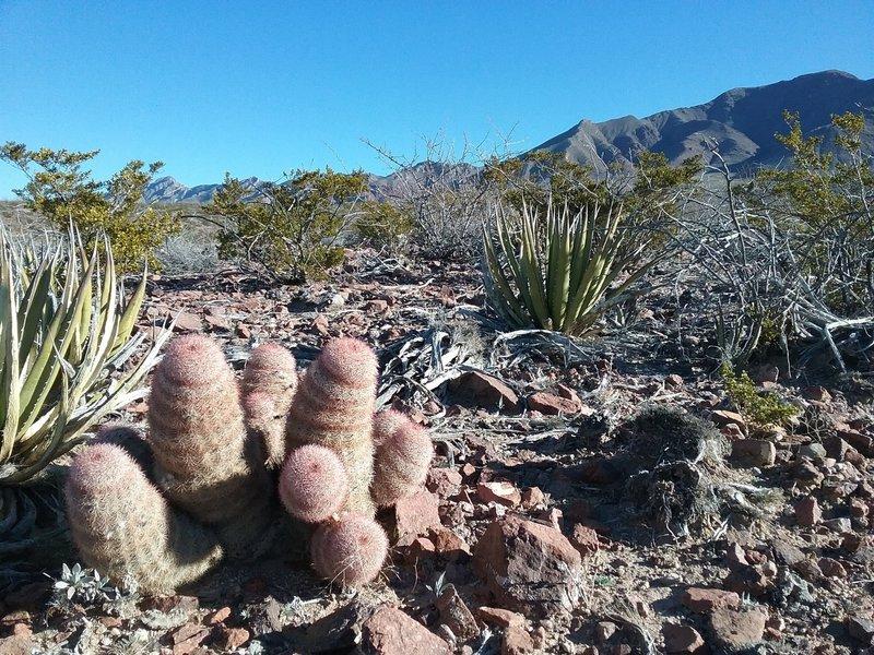 Texas rainbow cactus