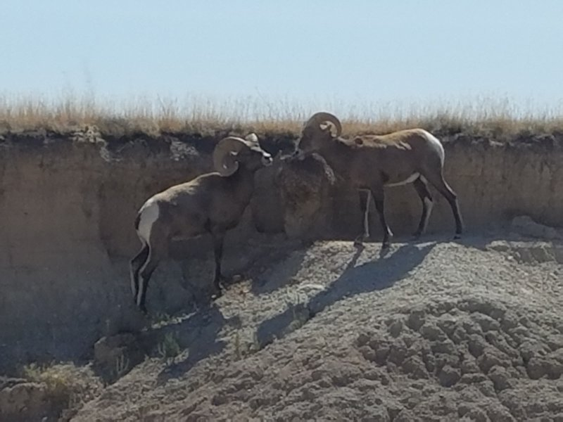 2 Bighorn Sheep near the trailhead