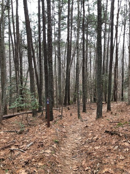 """Trail A is a dirt singletrack through trees, you can see the trail marker with a blue blaze and white """"A"""" to the left of the trail."""