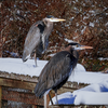 Even in the snow and despite a cold snap, herons find some sun and warmth