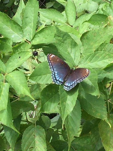 Swallowtail Butterfly - Limenitis arthemis Blue on Blackberry Bush