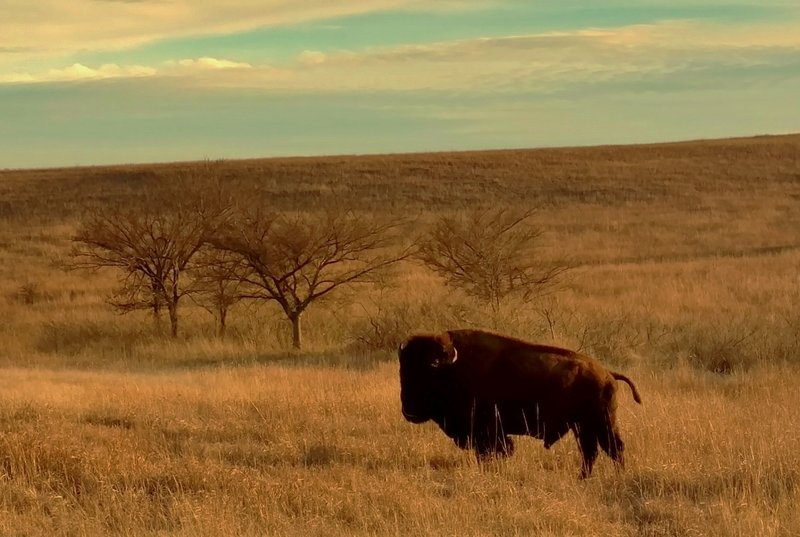 Bison (buffalo), gentle giants, in Wichita Mountains Wildlife Refuge