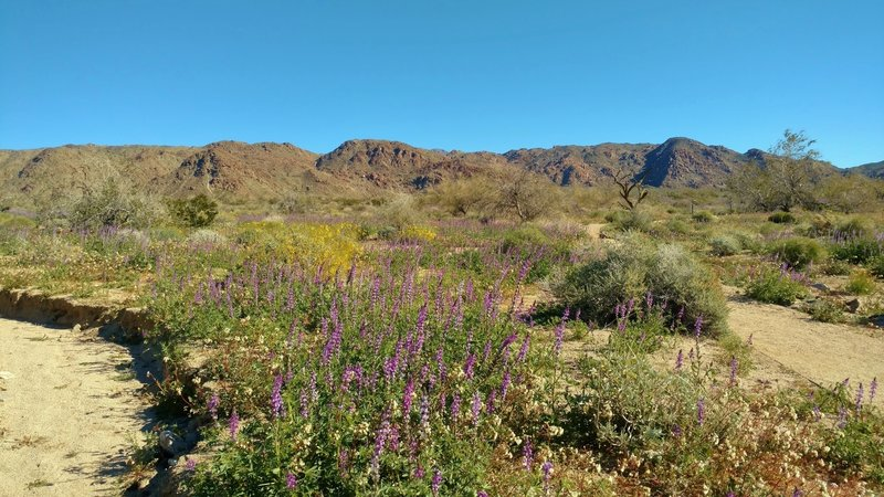 Desert - mountains and wildflowers. Start of Bajada Nature Trail. Cold crystal clear February morning. Plenty of winter rain this year :>)