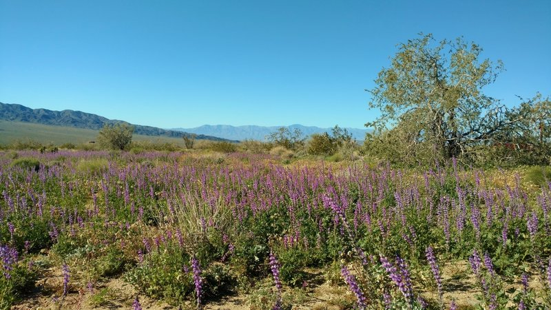 Desert - Lupines going crazy blooming after plenty of winter rain this year. Cold crystal clear February morning on Bajada Nature Trail.