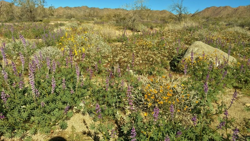 Desert bouquet - Lupines, brittlebush, poppies (?), etc. thanks to plenty of rain this winter. Cold crystal clear February morning on Bajada Nature Trail.