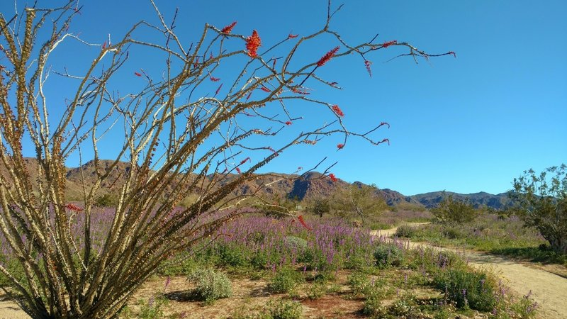 Desert - Ocotillo (red) and lupine (purple) on display with gorgeous mountain backdrop. Cold crystal clear February morning on Bajada Nature Trail.