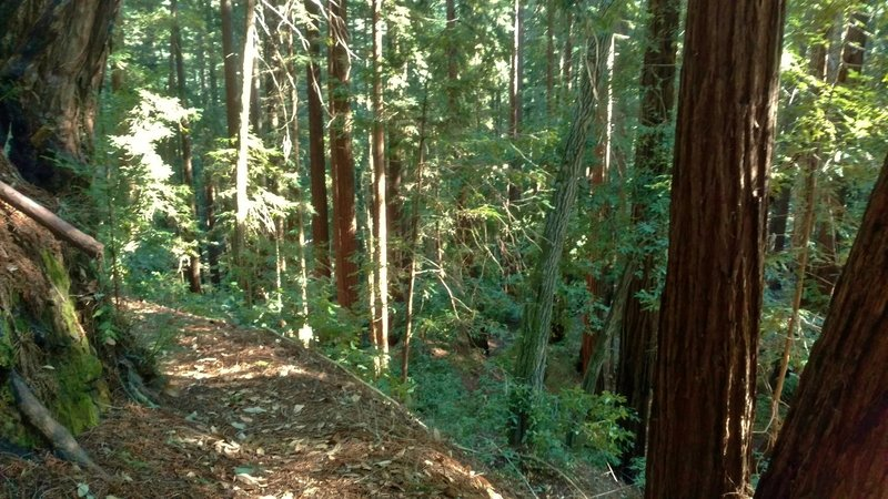 Mixed redwood forest along Big Slide Trail.