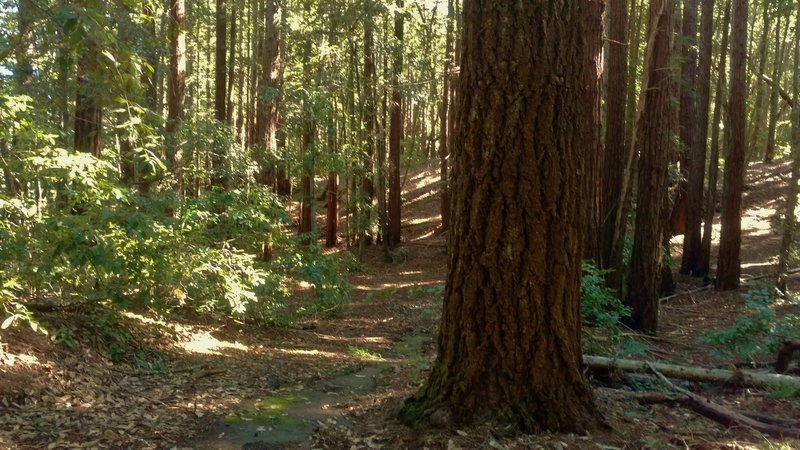 Mixed redwood forest along White's Lagoon Road.