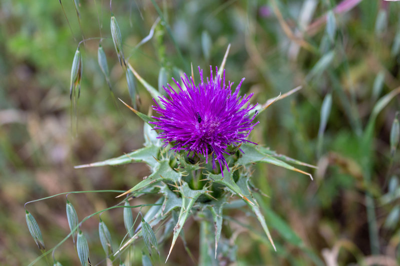 A colorful thistle next to Pena Trail