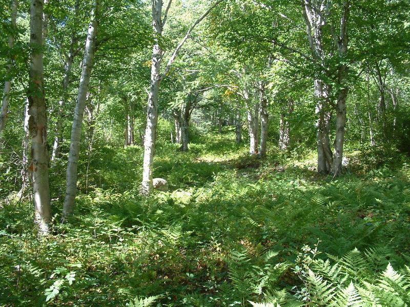 Birches Run in summer