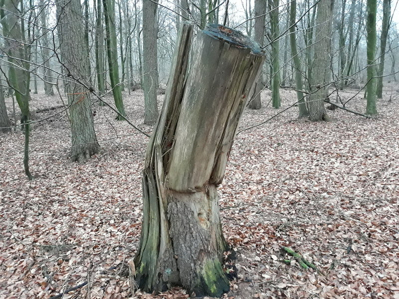 A stump along the trail / En stukket stub