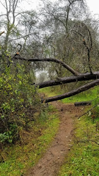 Tree fall on the Bypass