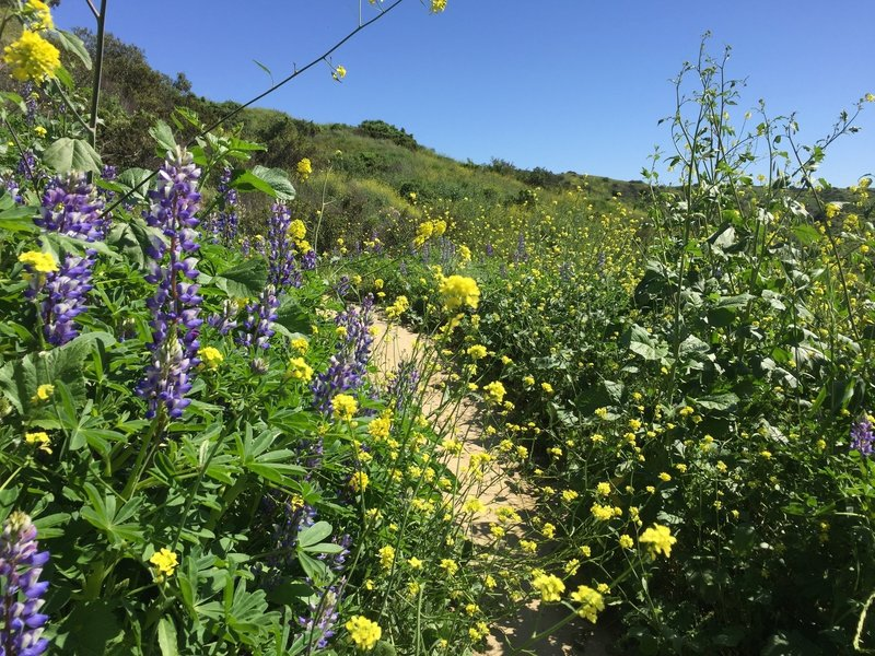 Olinda trail lupine and mustard flowers at about a half mile from the trailhead parking lot and Museum.
