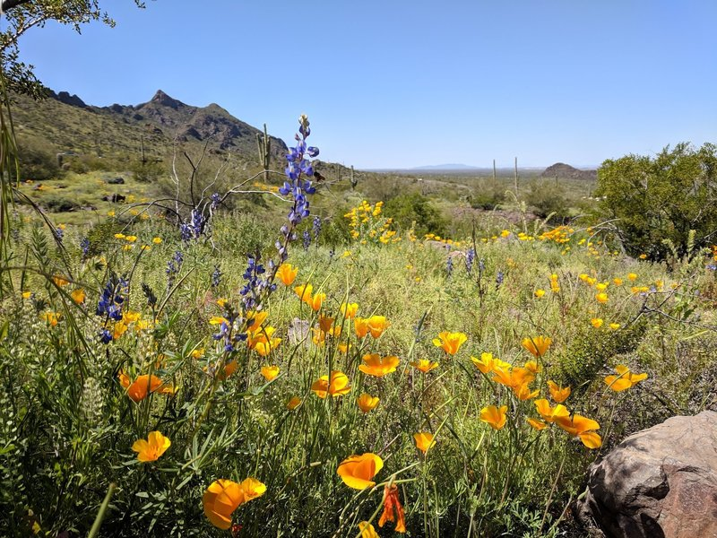 The wildflowers at Picacho Peak State Park were phenomenal in 2019.