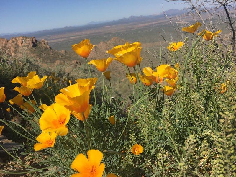 California poppies. EVERYWHERE!