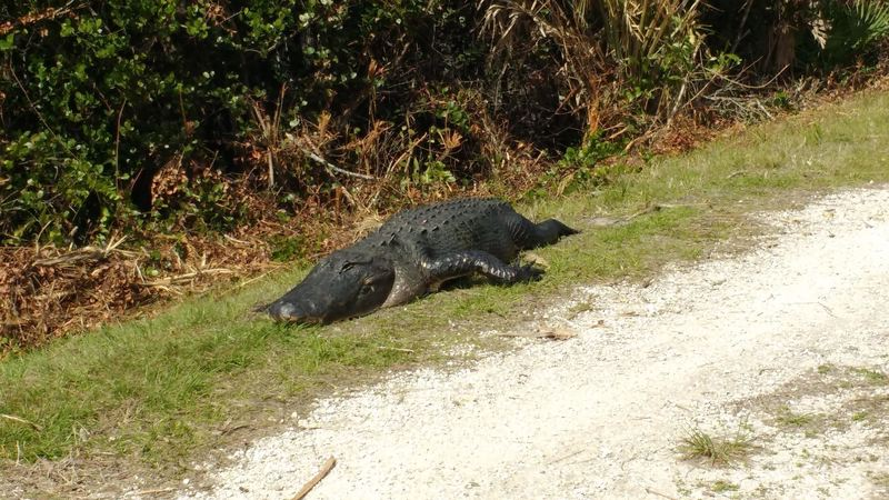 Big alligator on the Grassy Waters Preserve levee greenway.