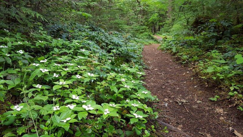 Bunch berry along trail at Breitenbush
