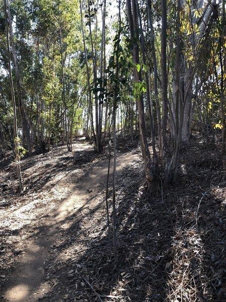 Eucalyptus grove.