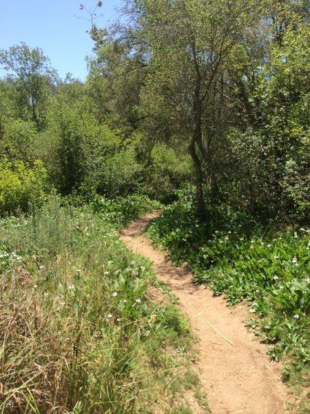 Singletrack along Penasquitos Creek.