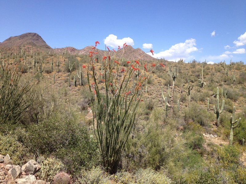 Ocotillo in bloom.