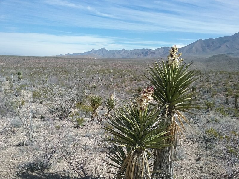 View of the Franklin Mountains and Banana Yuccas in bloom