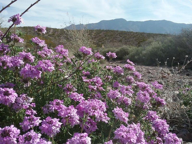 Glandularia and Franklin Mountains