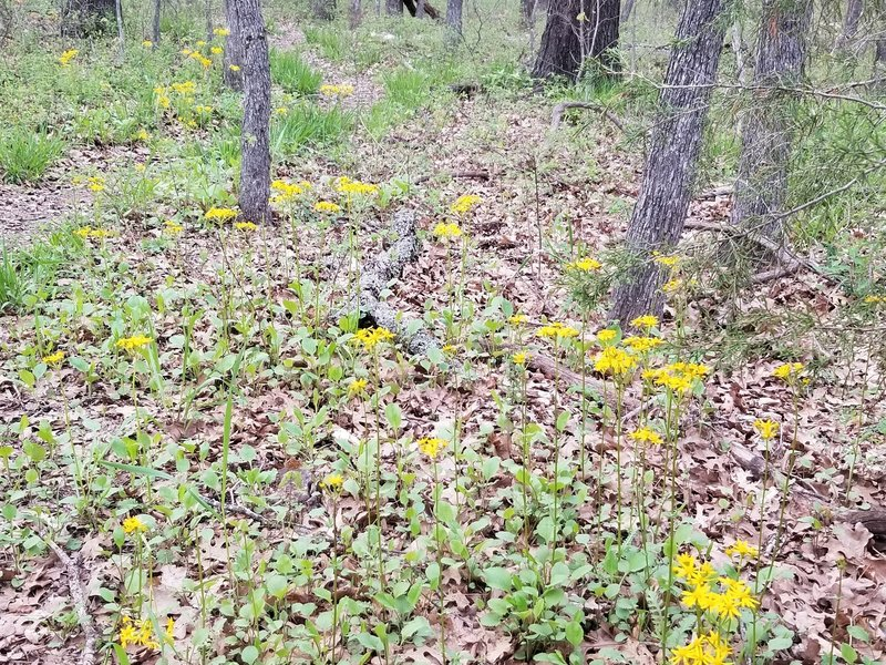 Stand of Flowers, appear to be Golden Asters. New Deal Trail, Lake Murray State Park, OK