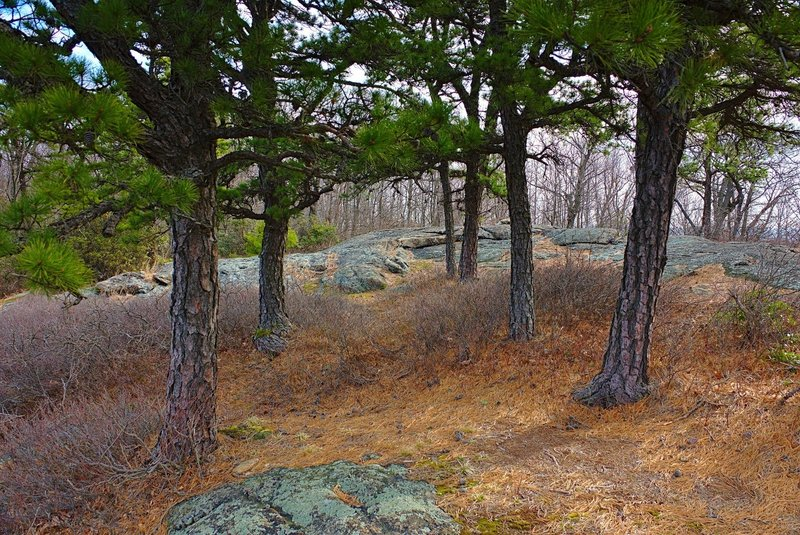A grove of Pitch Pine guards a clearing on Carris Hill Trail in Norvin Green State Forest