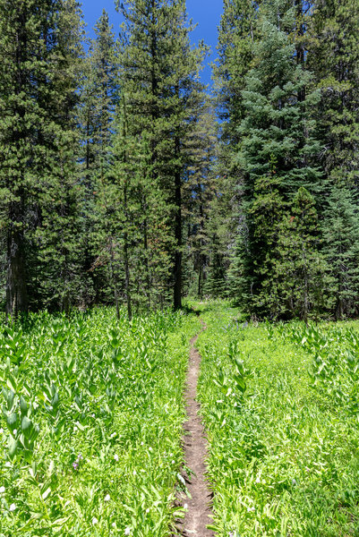 Lush green - meadows and trees - as you hike Yosemite Wilderness