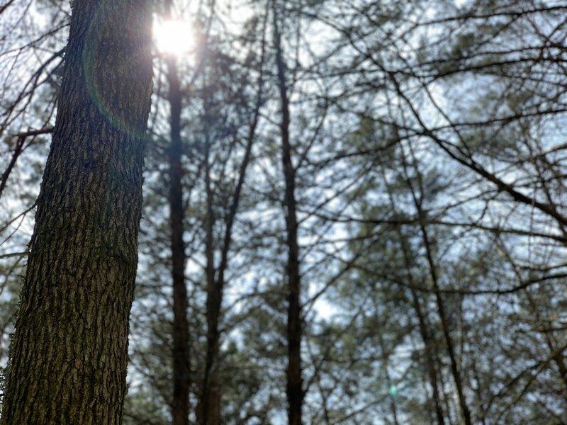 Sun shining between trees
