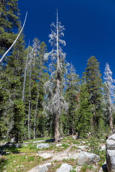 Numerous dead trees line the trail to Grouse Lake