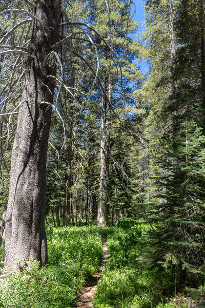 Lodgepole pine and red fir next to the trail