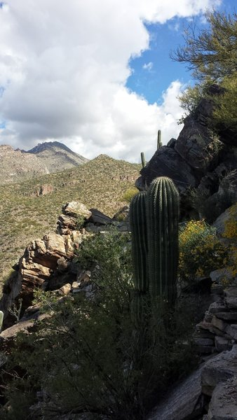 Some saguaros off of the Phoneline Trail.