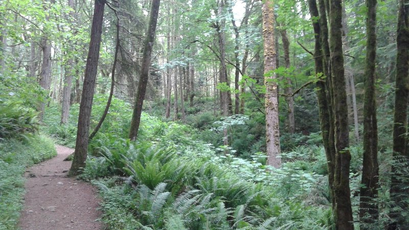 Ferns and Forest on Quarry Trail