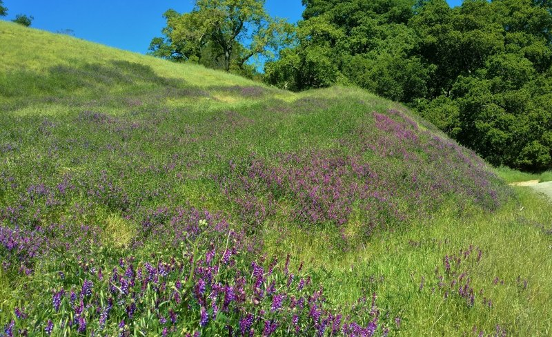 Smooth vetch (purple wildflowers) cover a hillside along Guadalupe Trail in April