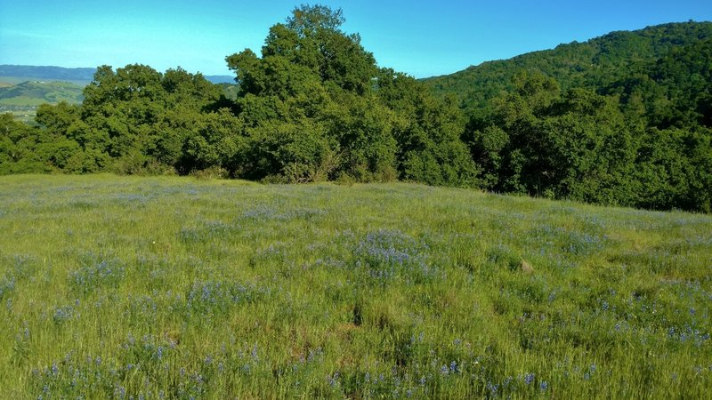 Field of lupines (blue wildflowers) along Prospect #3 Trail in April.